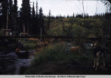 Bob pulling canoe past Blackie Zambicki's place from Tazlina Lake, 1953.