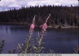 Fireweed in bloom.