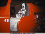 Dalmatian sitting in fire truck.
