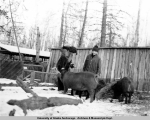 Rusty and her dad with the hogs, Matanuska Valley, 1939.