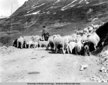 Sheep at Aviation Field above Fishhook, 1940.