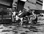 Polled herefords en route to Alaska, Oct. 17, 1947