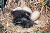 Eider ducklings, Puffin Island, Kodiak.