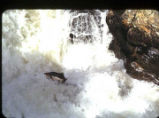 Humpback salmon ascending falls, Ketchikan Creek.
