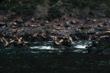 Sea lion rookery, Sugarloaf Island, Barren Isles.