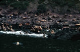 Sea lions, Sugarloaf Island.