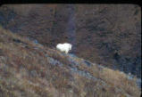 Mountain goat, Victor Creek, Kenai, Chugach National Forest.