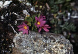 Alpine primrose-Primula cuneifolia, Sheep Mt.