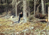 Harold Pomeroy cutting down a tree at Bear Cove.
