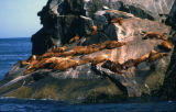Chiswell Islands sea lions.