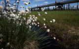 Cottongrass, pipe.