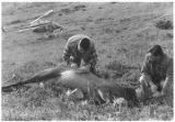 Radio collaring elk on Afognak Island.