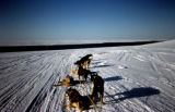 Sled dogs in harness stopped on wide trail, probably a lake or river.