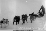 Cavy's dog team, the winner of the race to the hot springs & return, Apr[il] 23-25, Nome,...