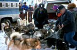 Handlers hold sled dogs on Anchorage's Fourth Avenue before the Iditarod Trail Sled Dog Race.