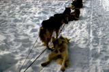 Sled dogs in harness on gangline, taking a break.