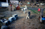 Sled dogs in dog yard.