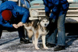 Veterinarian checking rear paw of sled dog.