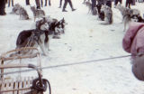 Sled dogs in harness stand in lines.