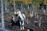 Goats in fenced area.