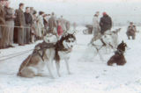 Siberian sled dogs on Park Strip.