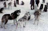 Sled dog team in harness on the Park Strip in Anchorage.