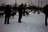 Dog teams in harness on the Park Strip for dog sled races.