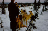 Dog team in harness stopped between small spruce.