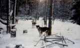 Sled dogs standing among trees in winter.