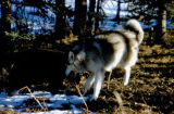 Sled dog named Miki plays with bear cub.