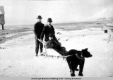 Black bear harnessed to a sled.