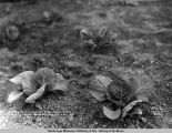 Cabbage 60 days old, A. Church's ranch, mile 3 1/2 Matanuska Branch, A.E.C. R[ailwa]y, June 28,...