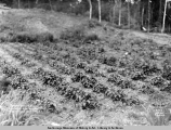 Strawberries on A.W. Walters ranch, Matanuska Branch, A.E.C. R[ailwa]y.