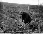 Growing peas in Matanuska Valley, Oct. 5, 1918.