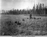 Raising hogs in the Matanuska Valley, Oct. 9, 1918.