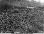 Tons of potatoe's [sic] wasted for want of a market in the Matanuska Valley, Oct. 9, 1918.