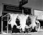 Polar bear skins at Alaska Fur Factory, 1950.