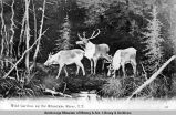 Wild caribou up the Klondyke [sic] River, Y[ukon] T[erritory].