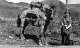 Alaska hiker. Woman with pack-horse.