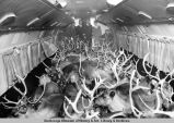 Reindeer getting an airplane ride.