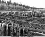 Salmon drying at Fort Yukon.