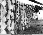 Beluga whale meat on drying racks. Kotzebue. June & July.
