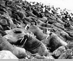 Walrus herd on a beach.