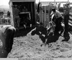 Earmarked deer leaving chute. Lomen's Golovin corral. July, 1938.