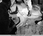 Lomen's Golovin corral. Castrating maverick bull with knife. July, 1938.