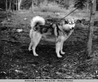 Woolie (cross between Malamite [sic] and Siberian). Husky sled dog. Mt. McKinley, Alaska.