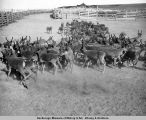 Reindeer being driven to corral. Golovin, Alaska.