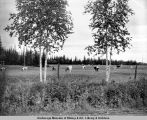 Dairy cattle, Fairbanks, Alaska.