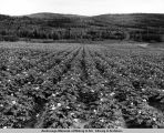 Potatoe [sic] field. Matanuska Valley, Alaska.