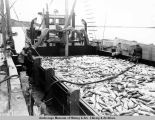 Red salmon [from Bristol Bay at the cannery dock], 1954.